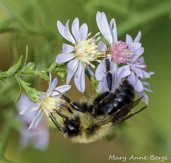 An athletic Bee drinking nectar from Blue Wood Aster (Symphyotrichum cordifolium). I'm not completely sure whether it's a Bumble Bee or an Eastern Carpenter Bee.