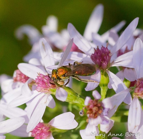 A Sweat Bee (Augochlorella species) investigating Blue Wood Aster (Symphyotrichum cordifolium)