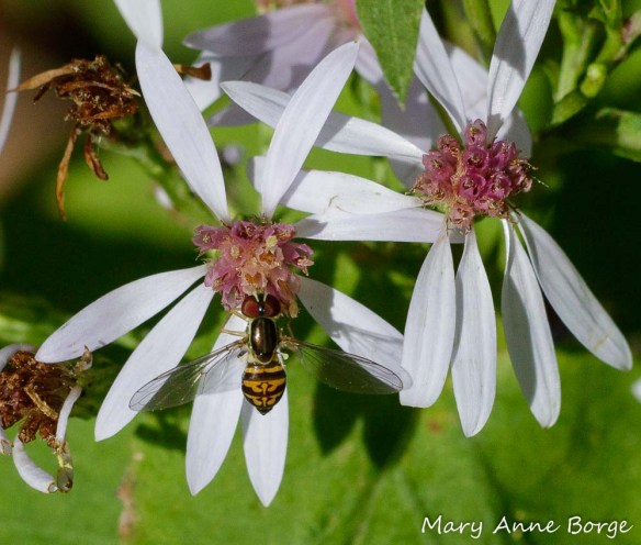 A Syrphid or Flower Fly (Toxomerous geminatus) drinking nectar from Blue Wood Aster (Symphyotrichum cordifolium)
