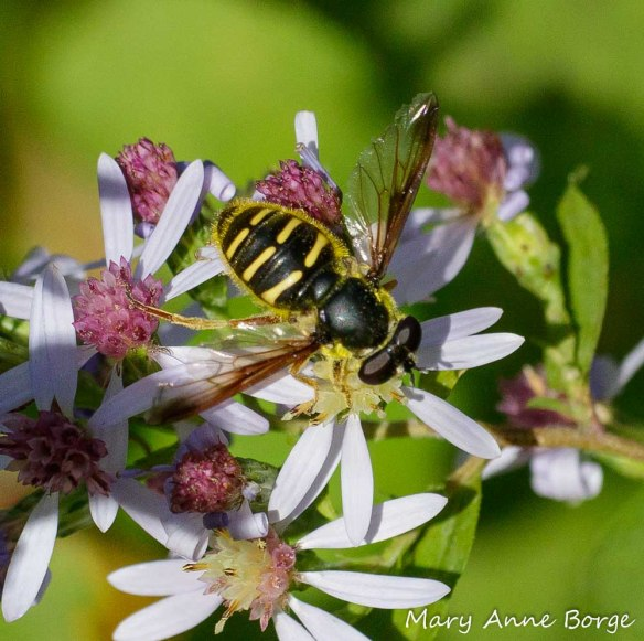A Syrphid or Flower Fly (Sericomyia chrysotoxoides) drinking nectar from Blue Wood Aster (Symphyotrichum cordifolium)