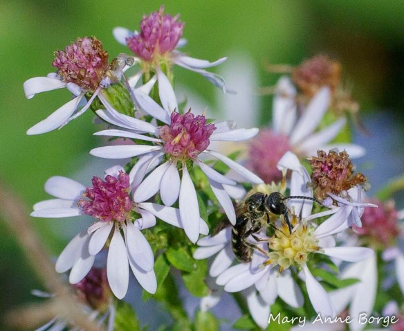 Blue Wood Aster (Symphyotrichum cordifolium) with Sweat Bee (Halictus species)