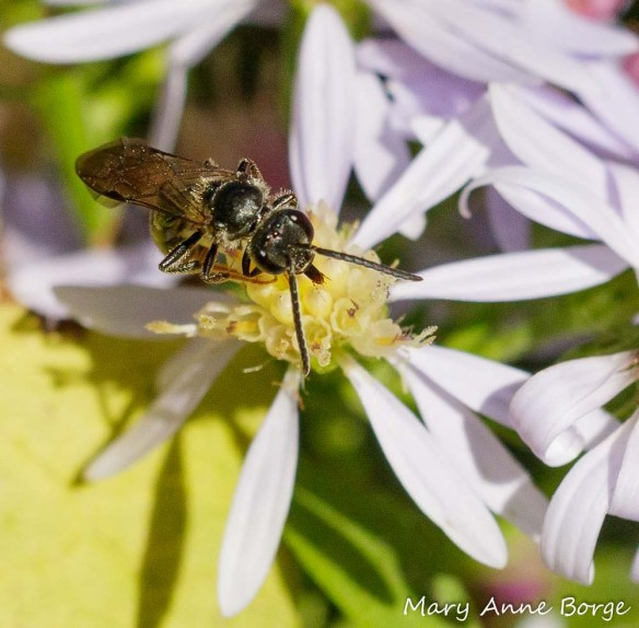 Sweat Bee (Halictus species) drinking nectar from Blue Wood Aster (Symphyotrichum cordifolium)