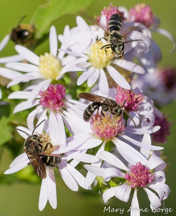 A gang of Sweat Bees (Halictus species) drinking nectar from Blue Wood Aster (Symphyotrichum cordifolium)