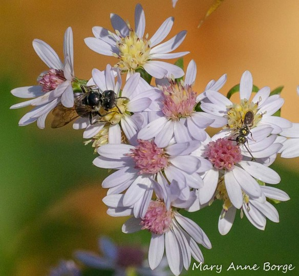 Sweat Bees (Halictid bees) of two different species visiting Blue Wood Aster (Symphyotrichum cordifolium)