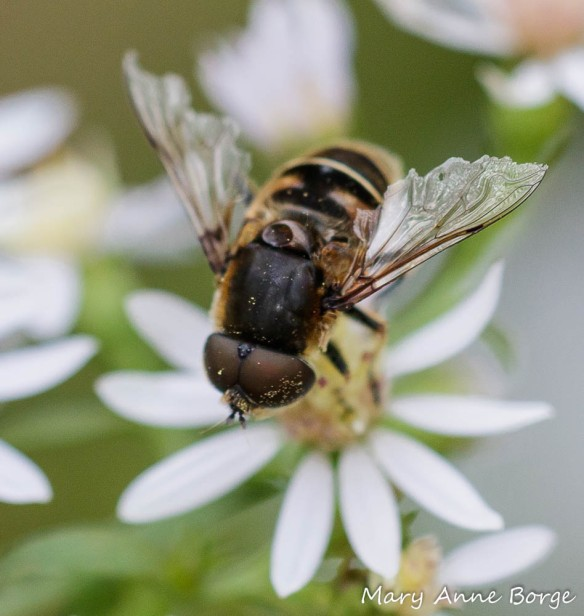 A Syrphid or Flower Fly (Eristalis tenax) drinking nectar from Blue Wood Aster (Symphyotrichum cordifolium)