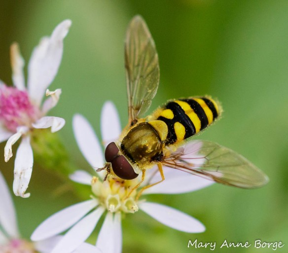 A Syrphid or Flower Fly (Syrphus ribesii) drinking nectar from Blue Wood Aster (Symphyotrichum cordifolium)