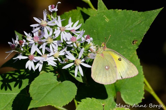 A Clouded Sulphur butterfly drinking nectar from Blue Wood Aster (Symphyotrichum cordifolium). Notice the heart-shaped leaves that are characteristic of this species.