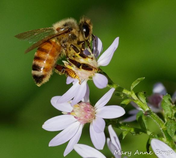 A Honey Bee (Apis mellifera) nectaring from Blue Wood Aster (Symphyotrichum cordifolium)