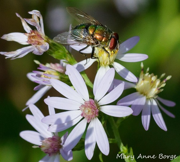 Greenbottle Fly (Lucilia sericata) drinking nectar from Blue Wood Aster (Symphyotrichum cordifolium)