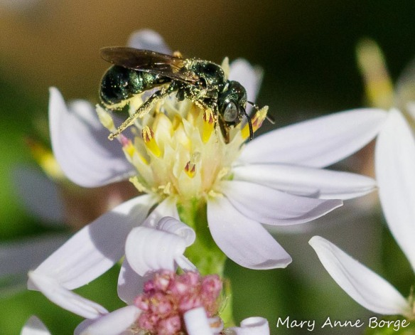 A Sweat Bee (Halictid bee) drinking nectar from Blue Wood Aster (Symphyotrichum cordifolium)