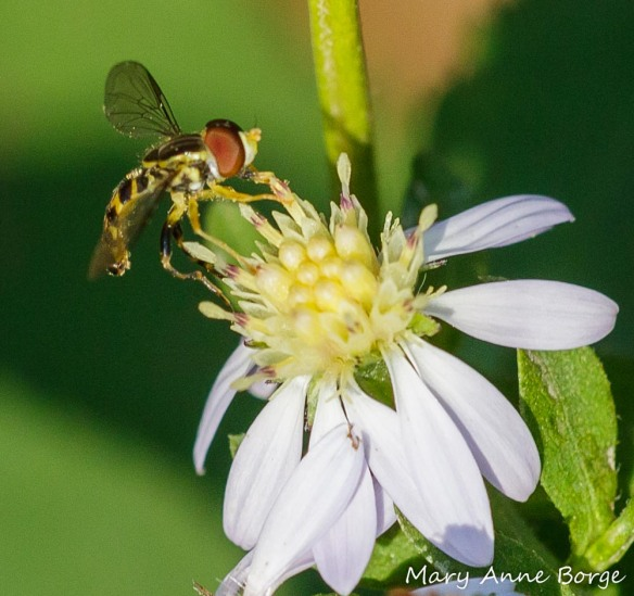 A Syrphid or Flower fly drinking nectar from Blue Wood Aster (Symphyotrichum cordifolium)