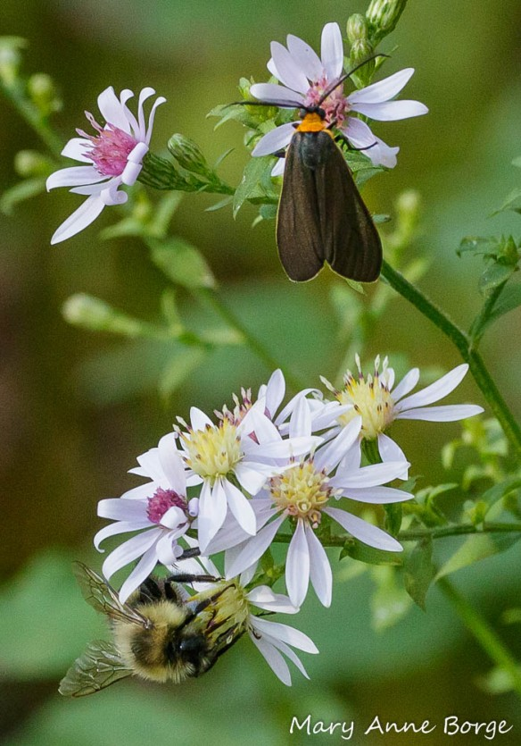A Yellow-collared Scape Moth (Cisseps fulvicollis) and Bumble Bee on Blue Wood Aster (Symphyotrichum cordifolium).