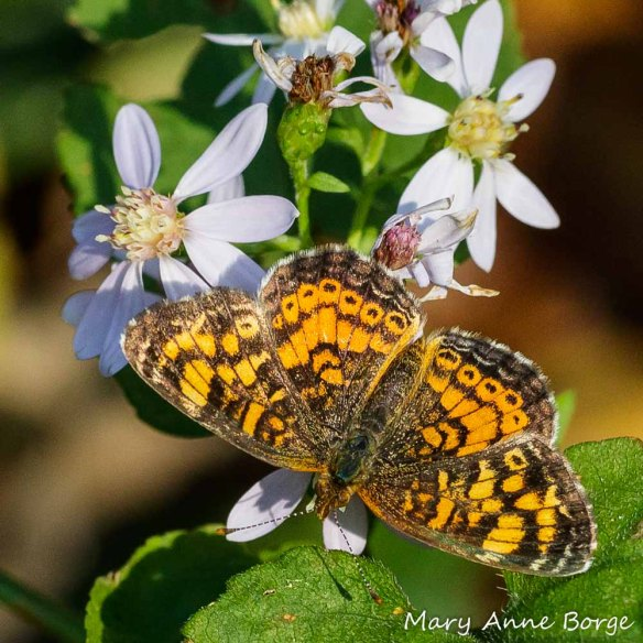 A Pearl Crescent butterfly drinking nectar from Blue Wood Aster (Symphyotrichum cordifolium). Not only do these butterflies benefit from the nectar, but their caterpillars dine on the foliage of several aster species.