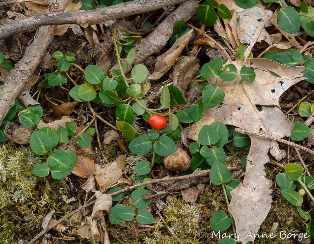 Patridgeberry (Mitchella repens)