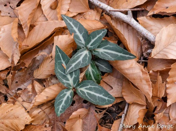 Striped Wintergreen (Chimaphila maculata)