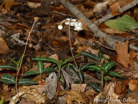 Striped Wintergreen (Chimaphila maculata) in bloom. Fruit capsule from previous season is visible on the left.