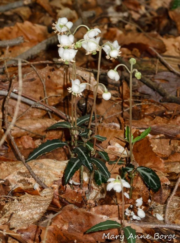 Striped Wintergreen (Chimaphila maculata) in bloom.