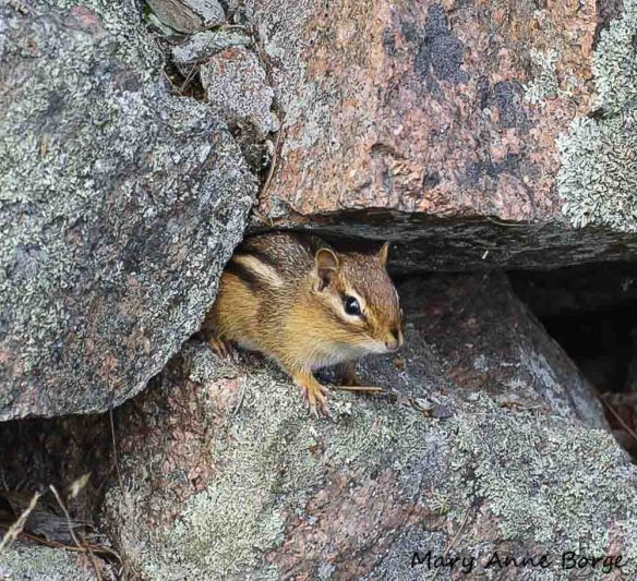 Eastern Chipmunks may eat Northern Prickly-ash (Zanthoxylum americanum) fruit