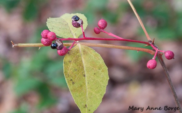 Northern Prickly-ash (Zanthoxylum americanum) with fruit in autumn