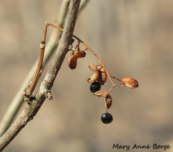 Northern Prickly-ash (Zanthoxylum americanum) with ripe fruit