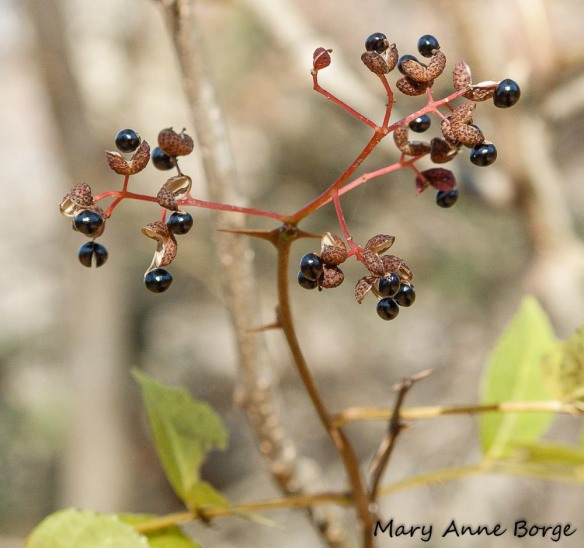 Northern Prickly-ash (Zanthoxylum americanum) fruit in late winter