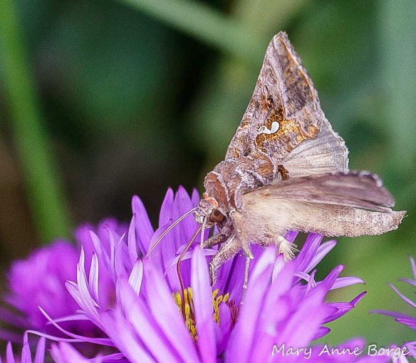 Common Looper Moth (Autographa precationis), a potential pollinator. Imagine a moth carrying a pollinium (pollen sac) on its eye.
