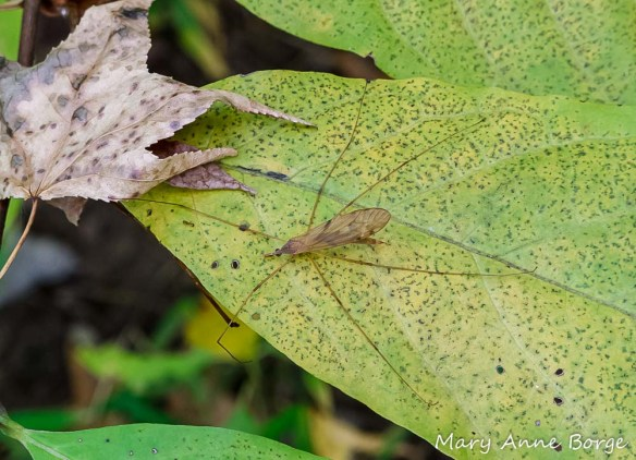 A Crane fly (Platytipula sp.), inspiration for Cranefly Orchid's name.