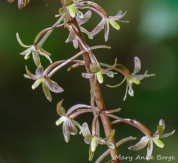 Cranefly Orchid (Tipularia discolor) flowers; Note the long spurs from which nectar is accessed by potential pollinators.