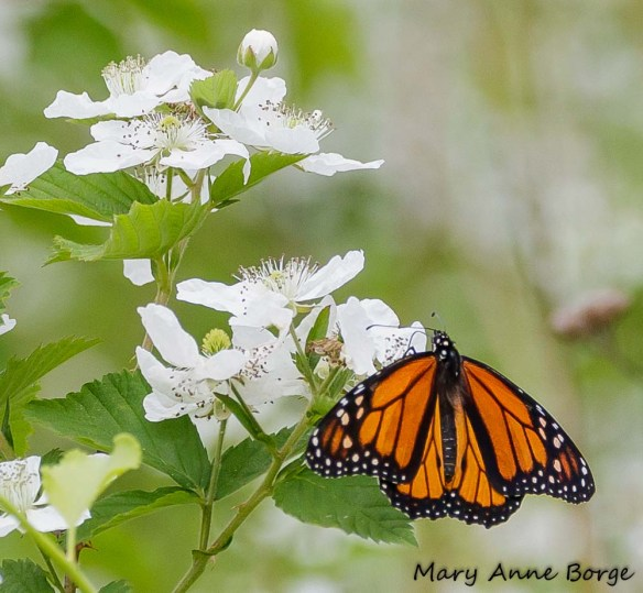 Monarch on Common Blackberry (Rubus allegheniensis)