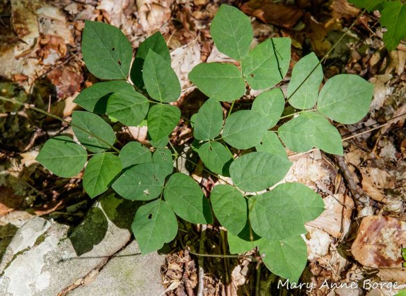 Naked-flowered Tick-Trefoil (Desmodium nudiflorum) foliage