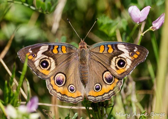 Common Buckeye with Crown Vetch