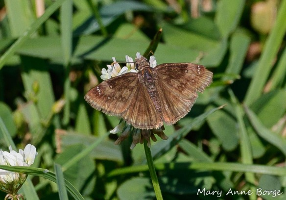 Horace's Duskywing on White Clover