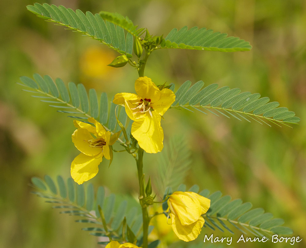 Partridge Pea Puzzles The Natural Web