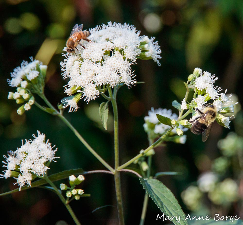 White Snakeroot And A Bit Of A Paradox The Natural Web