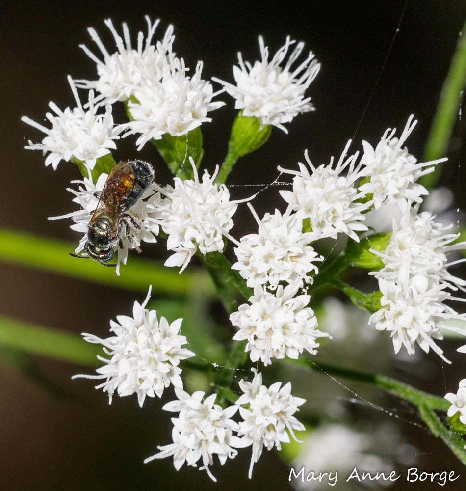White And Blue Room: White Snakeroot, And A Bit Of A Paradox