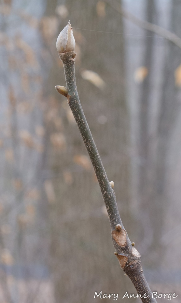 Mockernut Hickory (Carya tomentosa) branch in winter. Notice the large end bud with rounded sides.