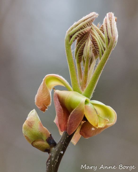 Shagbark Hickory (Carya ovata) in spring