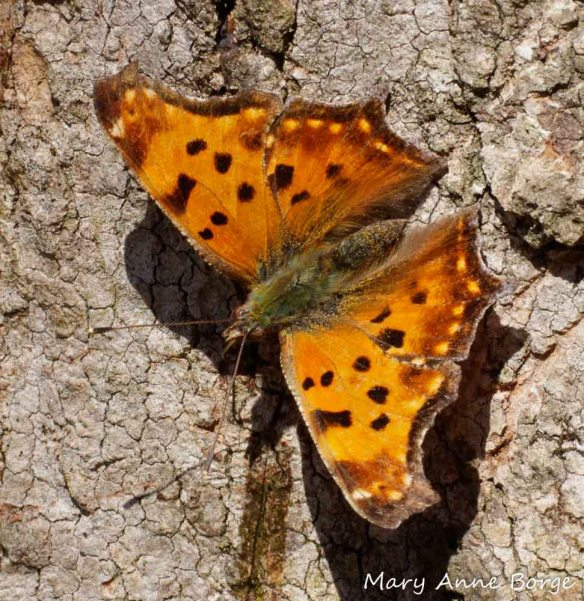 Eastern Comma butterflies survive the winter as adults, if they can find a warm dry shelter like a space under the loose bark of Shagbark Hickory (Carya ovata).