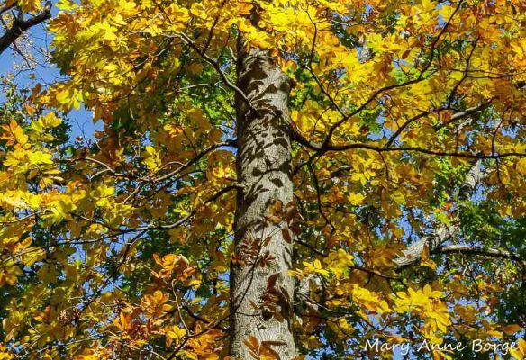 Mockernut Hickory (Carya tomentosa).