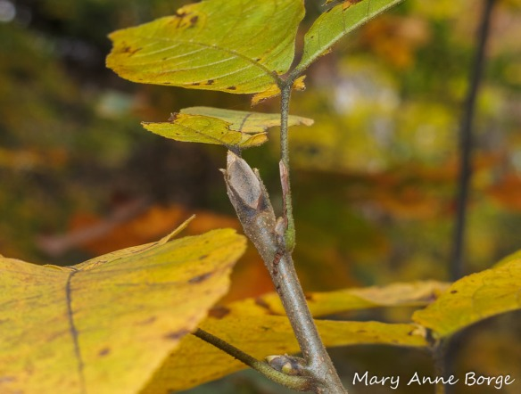 Shagbark Hickory (Carya ovata) bud. Notice the bod scales hugging the sides.
