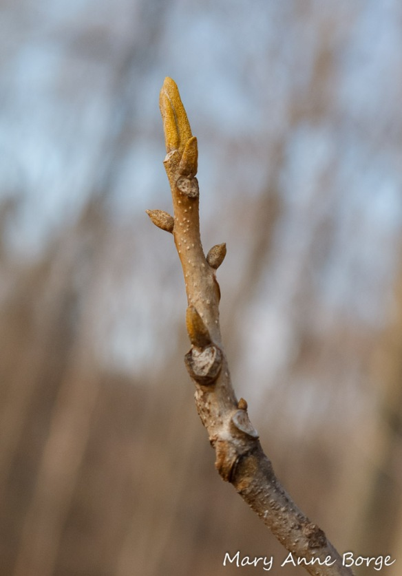 Bitternut Hickory (Carya cordiformis), showing its distinctive mustard-colored buds.