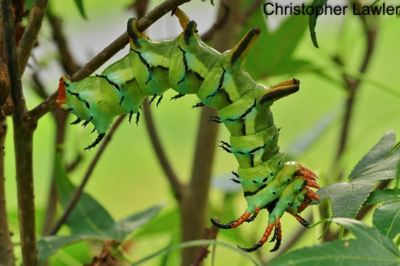 The aptly named, acrobatic Hickory Horned Devil caterpillar.