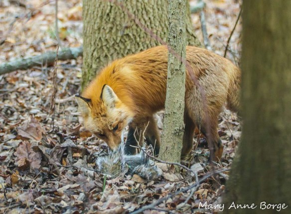 Red Fox eating Gray Squirrel