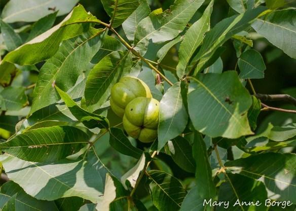 Shagbark Hickory (Carya ovata) nuts