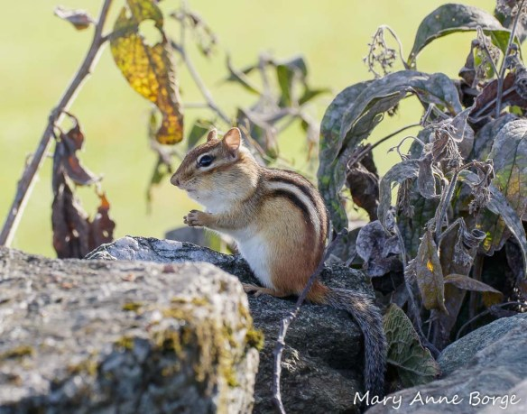 Eastern Chipmunk (with full cheeks!)