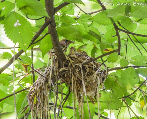 Wood Thrush at the nest with babies
