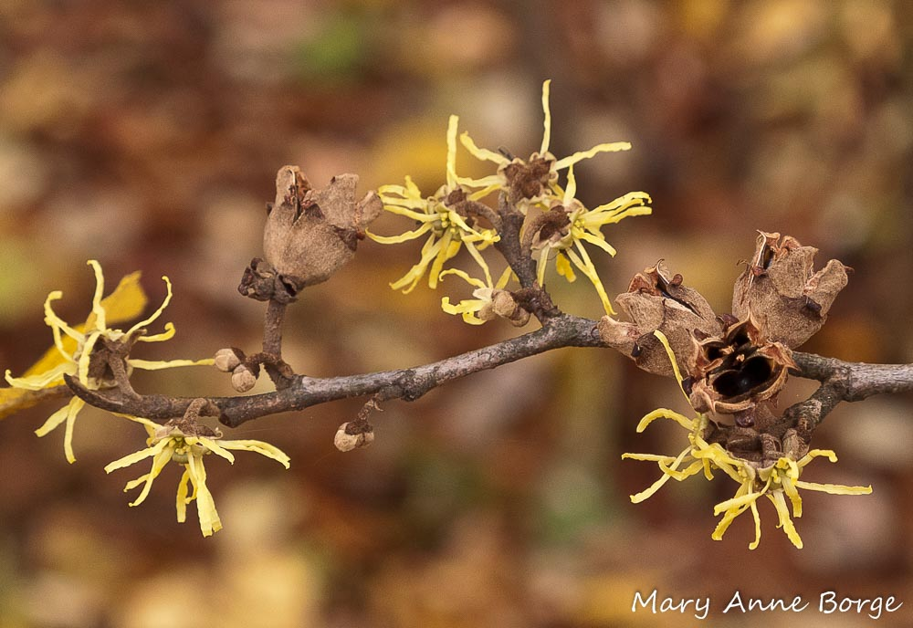Witch Hazel The Natural Web