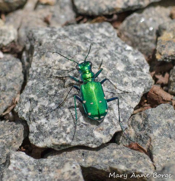 Six-spotted Tiger Beetle (Cicindela sexguttata) with 8 spots