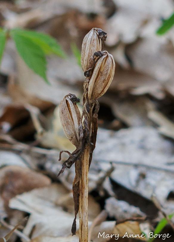 Showy Orchis (Gaelaris spectabilis) fruit capsules