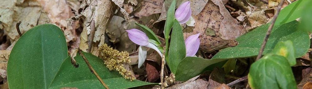 Showy Orchis (Gaelaris spectabilis)